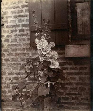 rose trémiere (hollyhock) by eugène atget