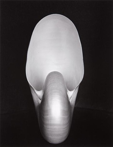 nautilus shell by edward weston