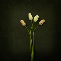 tulips by jack spencer
