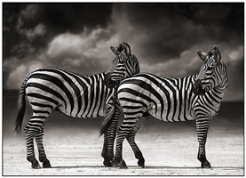 portrait of two zebras turning heads by nick brandt