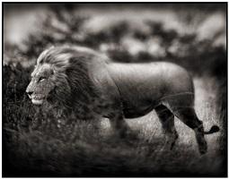 windswept lion by nick brandt