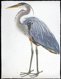 great blue heron, facing left by scott kelley