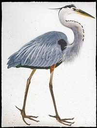 great blue heron, facing right by scott kelley