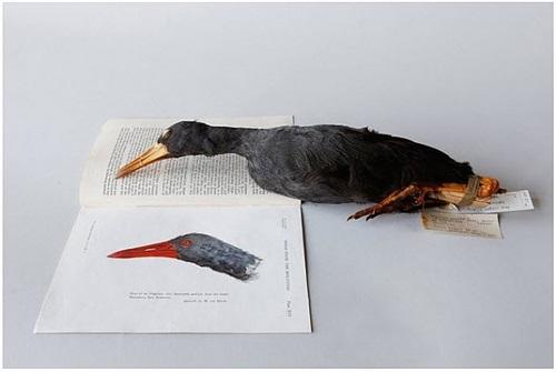 habroptila wallacii, the invisible flightless rail, vernoemd naar alfred russel wallace by ella reitsma snoep
