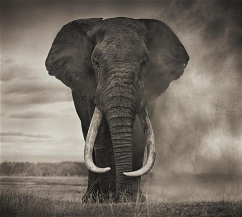 portrait of elephant in dust amboseli by nick brandt