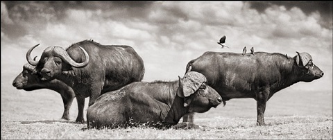 buffalo group portrait, amboseli 2005 by nick brandt