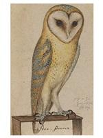 a barn owl by german school