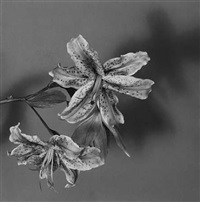 lily by robert mapplethorpe