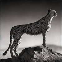 cheetah standing on rock, serengeti by nick brandt