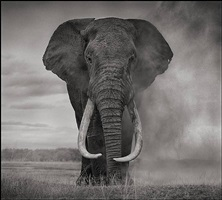 portrait of elephant in dust, amboseli by nick brandt