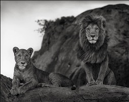 lion couple on rock, amboseli by nick brandt