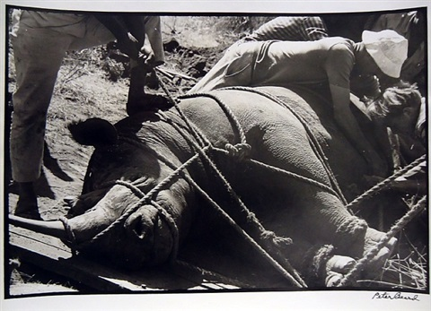 rhinoceros haul by peter beard