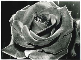 rose by daido moriyama