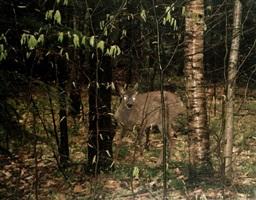 deer by eileen neff
