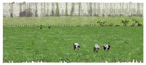 campo verde, alamos y fantasmas by felipe cusicanqui