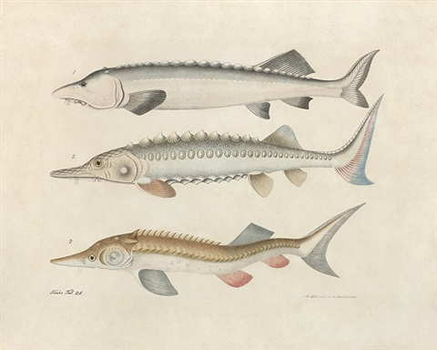 study of three sturgeon by aloys zötl
