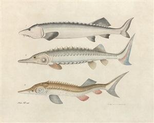 study of three sturgeon by aloys zötl