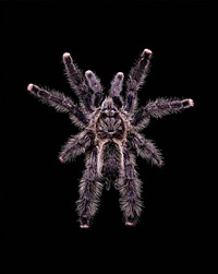 avicularia aurantiaca (a5) by guido mocafico