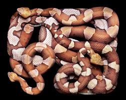 agkistrodon contortrix (s17) by guido mocafico