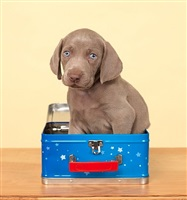 too big by william wegman