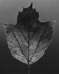 leaf by robert mapplethorpe