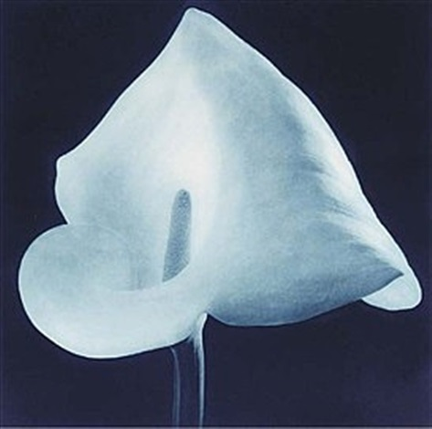 untitled (blue calla lily) by robert mapplethorpe