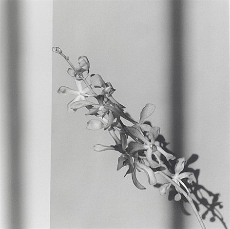 orchids by robert mapplethorpe