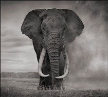 elephant in dust, amboseli by nick brandt