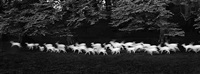 running white deer, county wicklow, ireland by paul caponigro