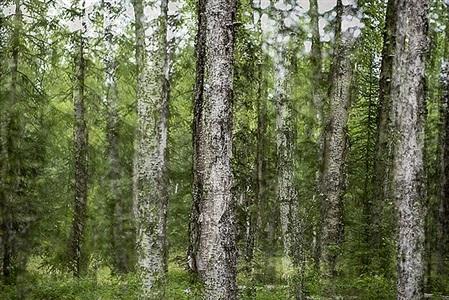 alaska trees #8 by dan shepherd