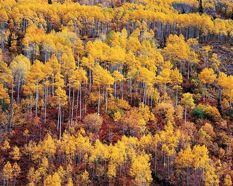 golden aspen and red oak mountainside, utah by christopher burkett