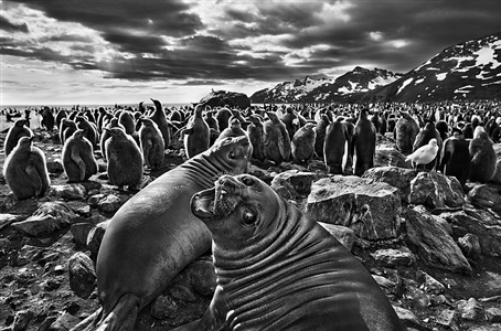 southern elephant seal calves at saint andrews bay south georgia by sebastião salgado