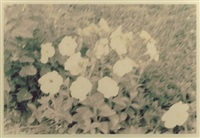 untitled (flowers) by mark cohen