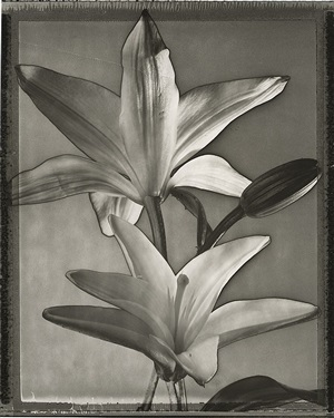 solarized lilies by tom baril