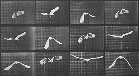 cockatoo flying by eadweard muybridge