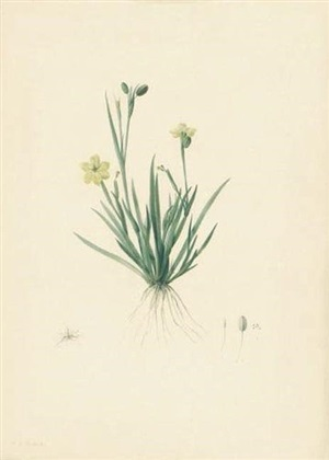 sisyrinchium convolutum with flower, pistil and seed by pierre joseph redouté