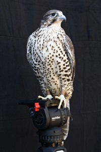 shumla (a female gyr/prairie falcon, handled by ashlee miknuk) by diana thater