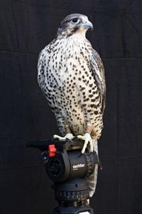 shumla (a female gyr/prairie falcon, handled by ashlee miknuk) by diana thater