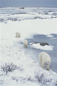 polar bear, churchill, canada, november2000