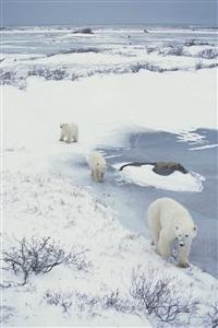 polar bear, churchill, canada, november2000