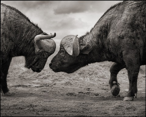buffalos head to head, lake nakuru by nick brandt