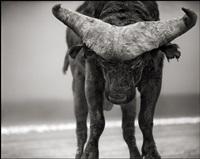 buffalo with lowered head, amboseli by nick brandt