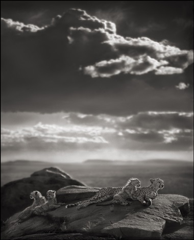 cheetah & cubs lying on rock, serengeti by nick brandt