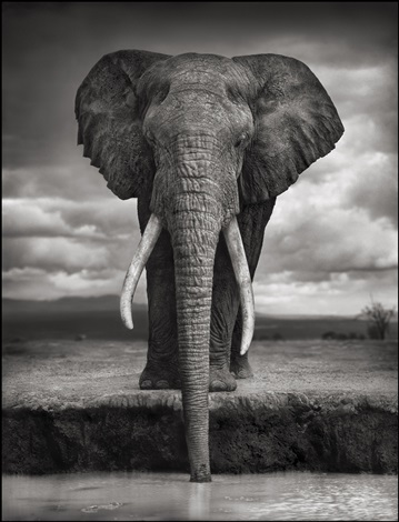 elephant drinking, amboseli by nick brandt