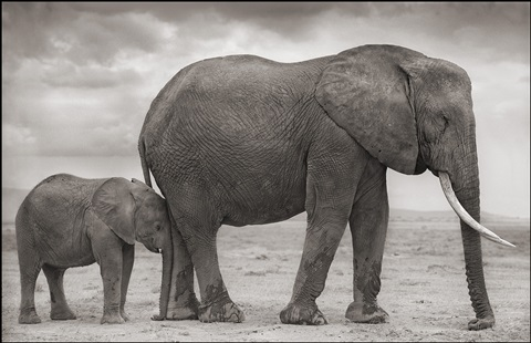 elephant mother with baby by leg, amboseli by nick brandt