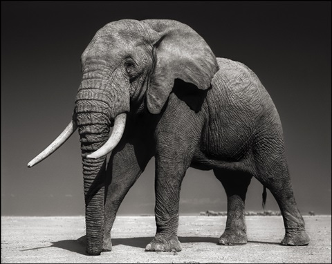 elephants on bleached lake bed, amboseli by nick brandt