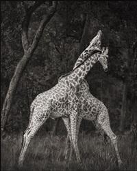 giraffes battling in forest, maasai mara by nick brandt