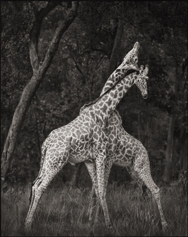 giraffes battling in forest, maasai mara by nick brandt