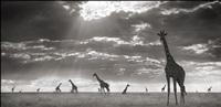 giraffes in evening light, maasai mara by nick brandt