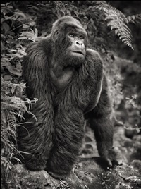 gorilla on rock, parc des volcans by nick brandt